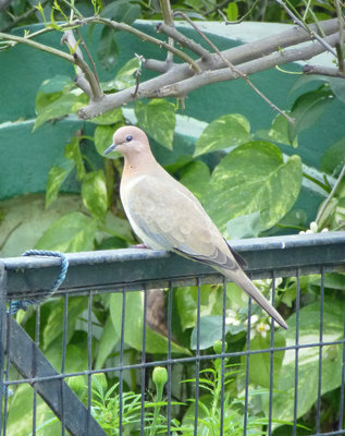 Bird-Laughing Dove.jpg