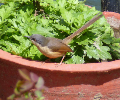 Bird-Indian red start probably.jpg