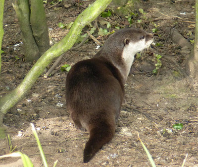 Asian short clawed otters 3.jpg