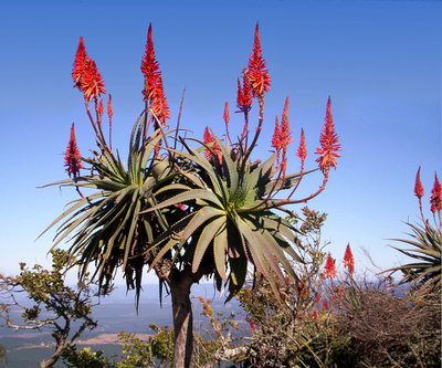 Africa, Aloes at Mpumalanga.jpg